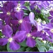 Clematis by olivetreeann