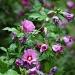 Hibiscus syriacus  by parisouailleurs