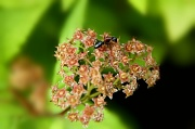 17th Jul 2011 - ant on a plant