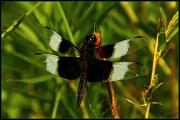 18th Jul 2011 - Dragonfly