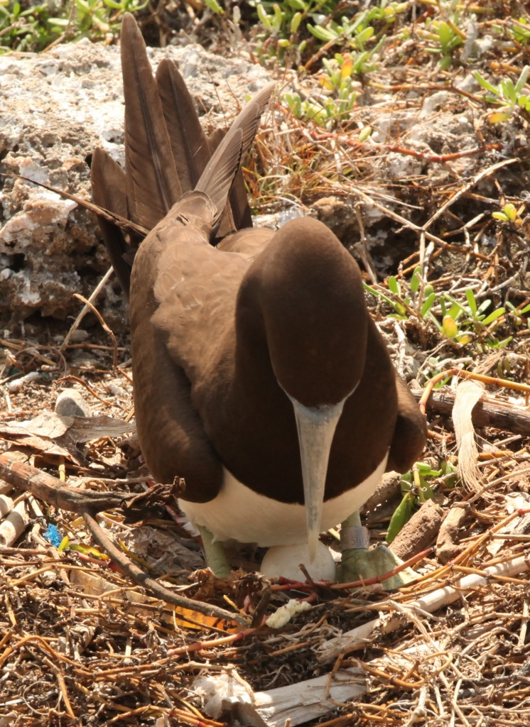 """Who put that there?"" Brown Booby and egg by lbmcshutter"