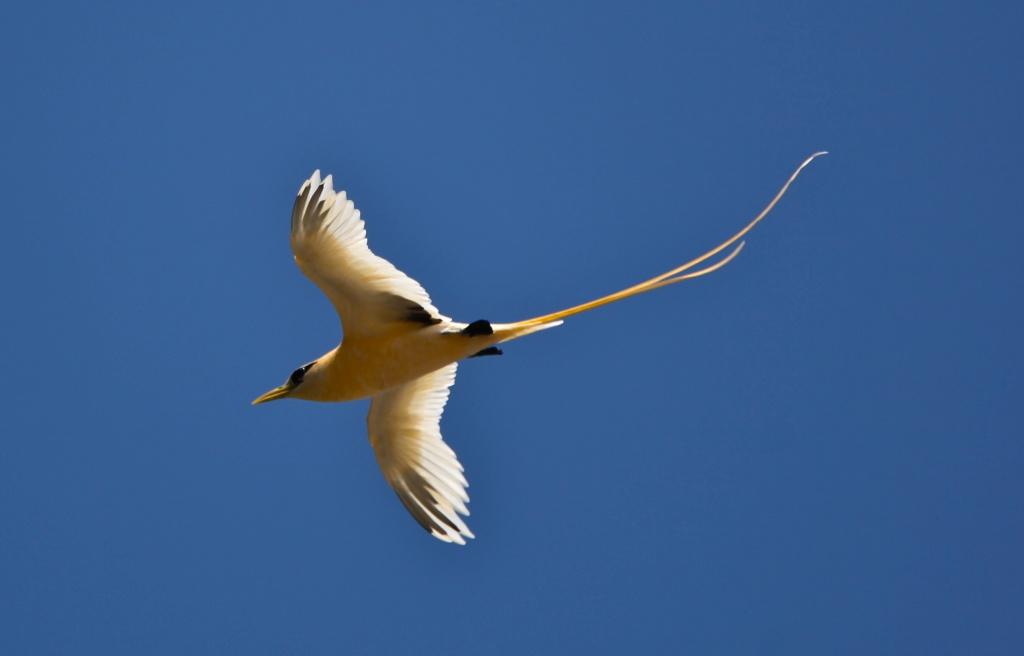 Golden Bosun Bird in flight by lbmcshutter