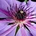 Purple Tango by denisedaly