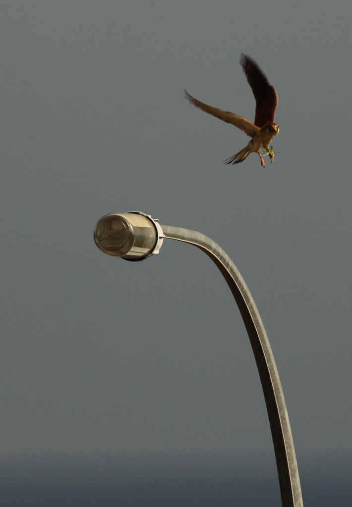 I decided to feature that ever present lightpole outside my balcony  when some Nankeen Kestrel with a grasshopper in its clutches decided to jump into the shot  by lbmcshutter