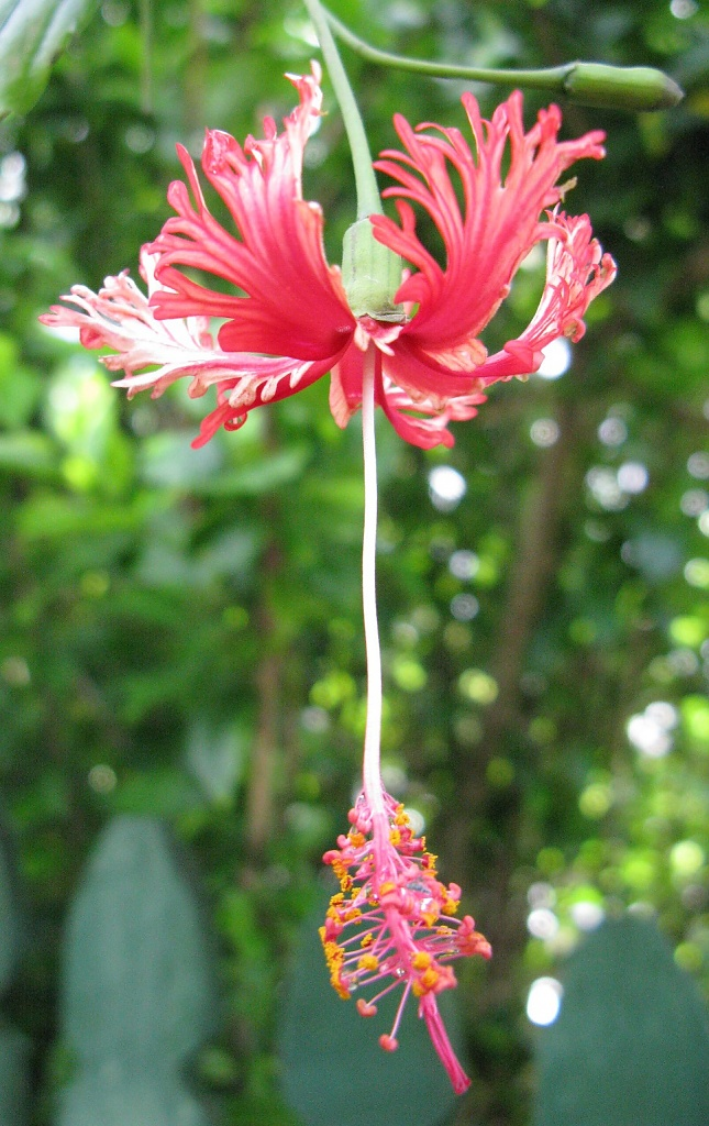 Hibiscus, I think by loey5150