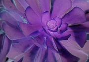 24th Jul 2011 - violet spiral
