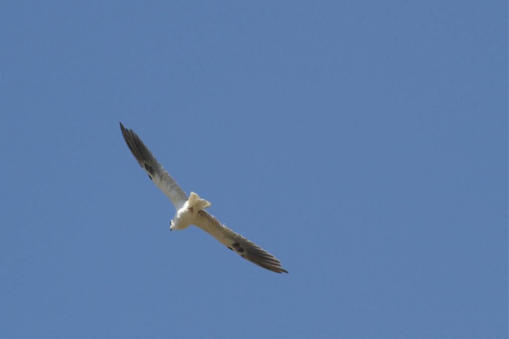 White-tailed Kite..... Obviously by robv