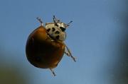 19th Jul 2011 - Levitating Ladybug
