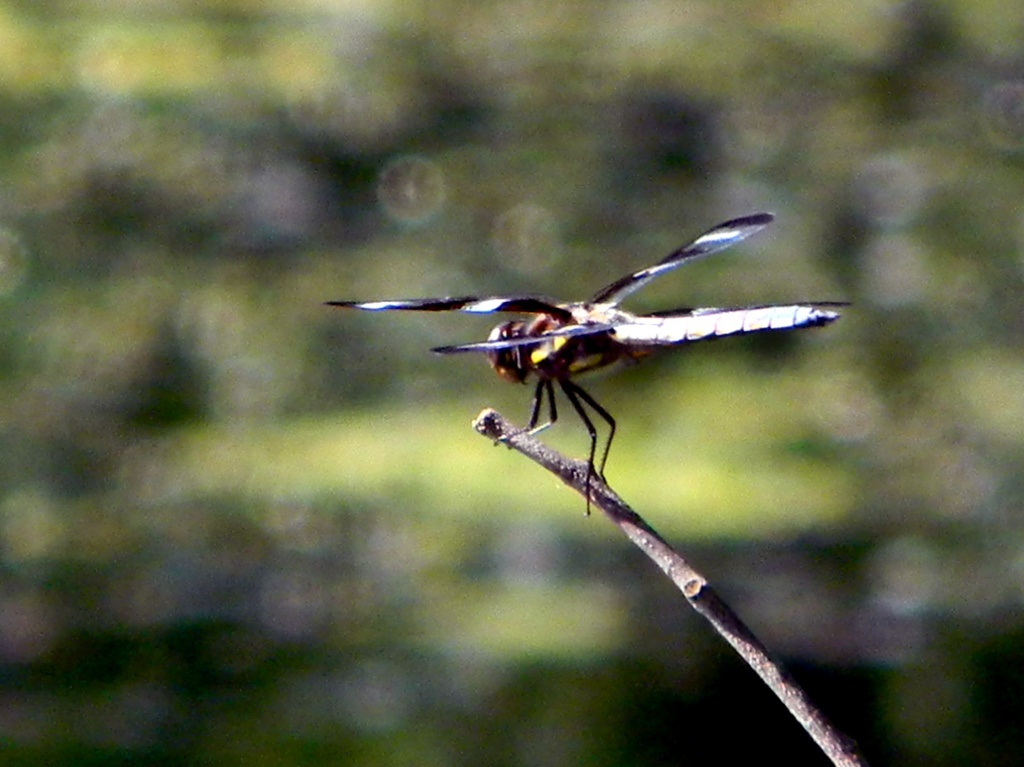 10 spotted skimmer dragonfly by pfmandeville