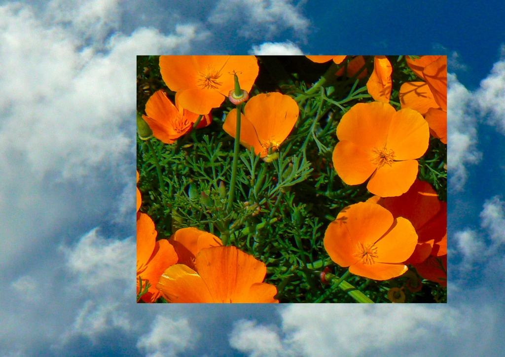 blue skies - orange flowers by reba