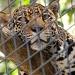 Jaguar by graceratliff