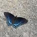 Unusual Butterfly by falcon11