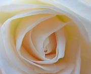 26th Jul 2011 - Inside the rose