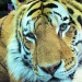 The tiger. by maggie2