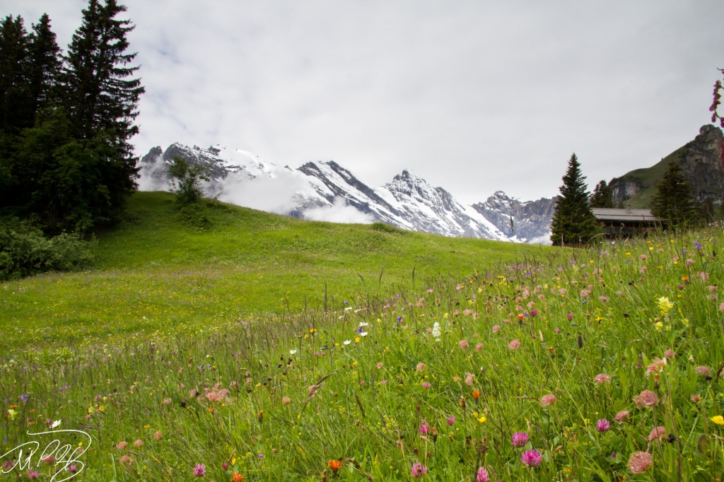 Swiss Wildflowers by harvey