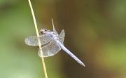 29th Jul 2011 - Dragonfly