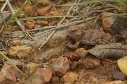 29th Jul 2011 - Short Horned Lizard