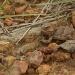 Short Horned Lizard by robv