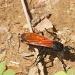 Tarantula Hawk Wasp by robv