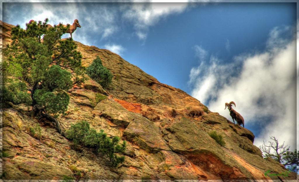 Rocky Mountain Bighorn Sheep by exposure4u