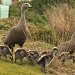 a family of Cape Barren Geese by lbmcshutter