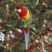 Eastern Rosella (Platycercus eximius) feasting on Cotoneaster berries in my garden by lbmcshutter