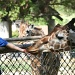 Feeding The Giraffes by kerristephens