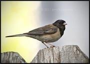 4th Aug 2011 - Bird on a Fence
