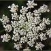 White Flower by hjbenson