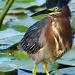 Little Green Heron by twofunlabs