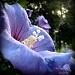 Purple Haze by geertje