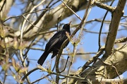 22nd Apr 2010 - Blackbird