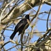 Blackbird by overalvandaan