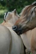 7th Aug 2011 - Fjord horses