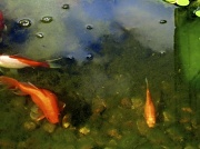 6th Aug 2011 - The Goldfish