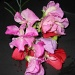 sweet peas by jmj