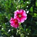 Alcea rosea #2 by parisouailleurs