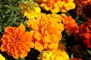 22nd Apr 2010 - Pretty marigolds