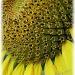 hundreds of baby sunflowers by mjmaven
