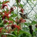 Hummer on the Bee Balm by brillomick