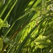 GREEN GROW THE RUSHES,OH! by snowy