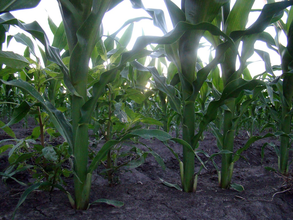 Worm's View of the Cornfield by dmrams