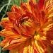 orange delight by mjmaven