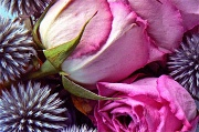 18th Aug 2011 - rose and thistle
