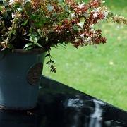 19th Aug 2011 - Abelia in the Kew pot