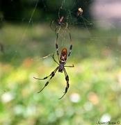 20th Aug 2011 - Bottom ofArgiope Spider