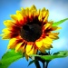 Sunflower (II) by halkia
