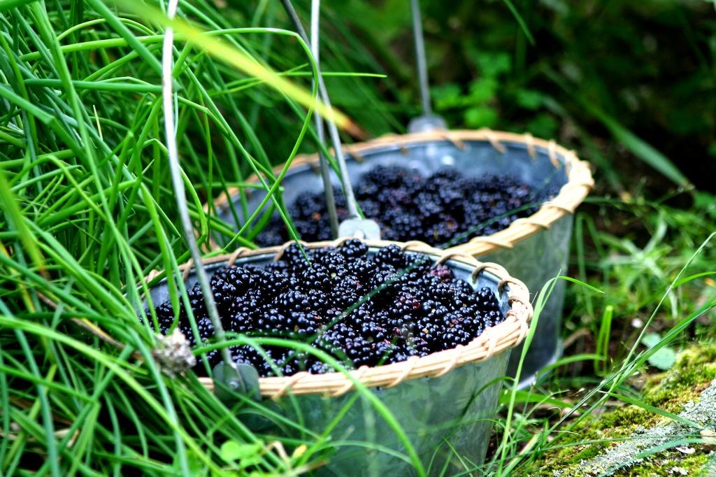 Picking Blackberries by lauriehiggins