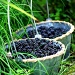 Picking Blackberries by lauriehiggins
