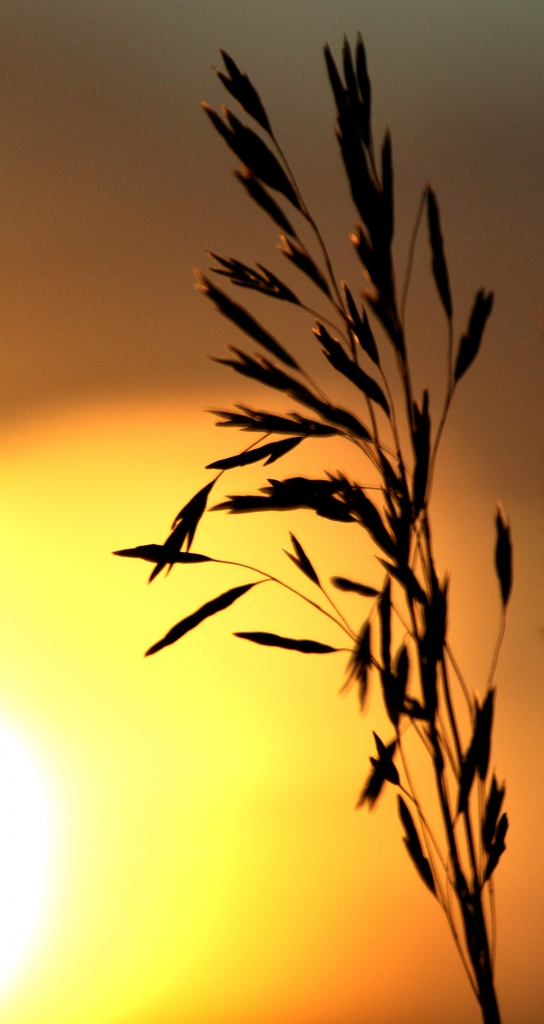 seed head sunset by mjalkotzy